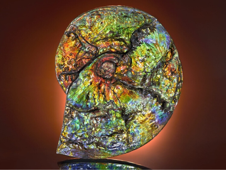 Ammolite Ammonite Fossil